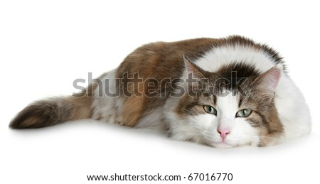 Big fluffy cat brown with white colors lies on a white background - stock photo