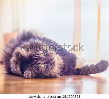 Big  fluffy cat lying on wood floor at home and looking playful  into the camera , toned - stock photo