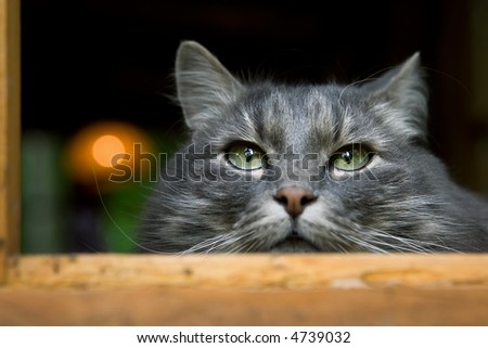 big fluffy grey cat very closely looks around-friendly but very independent animal - stock photo