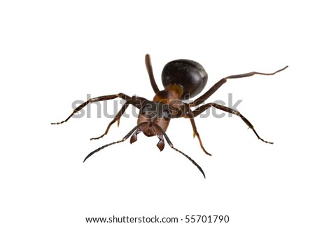 big forest ant isolated on white background - stock photo