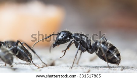 big forest ants on old wood - stock photo