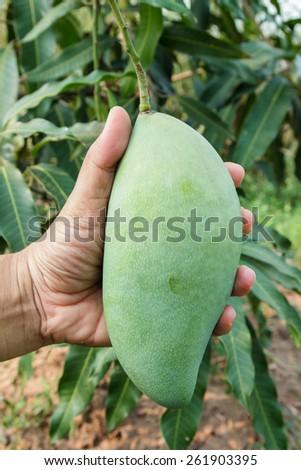 Big fresh mango in hand, at organic farm. - stock photo