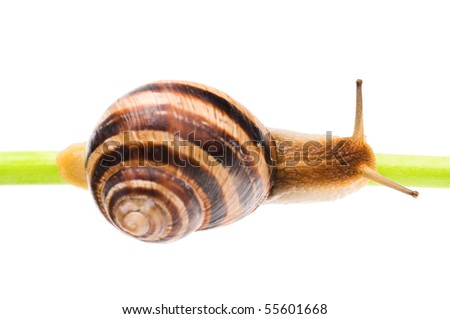 Big garden snail isolated on a white background - stock photo