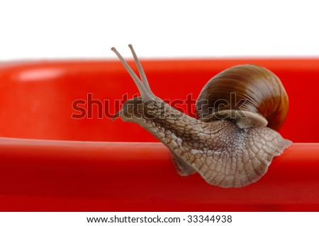 Big garden snail looking around for something, isolated over white