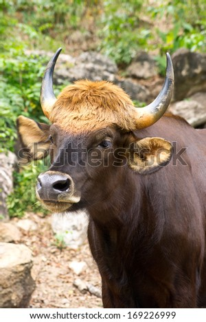Big gaur in Thailand forest - stock photo