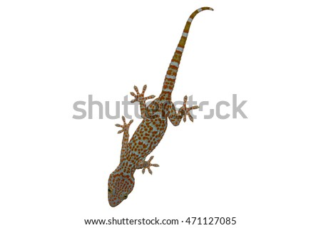 big gecko with red spots isolated on white background