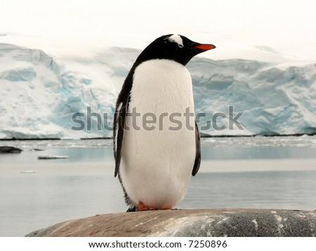 big gentoo penguin in antarctica, standing on a rock in front of a glacier. - stock photo