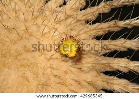 """Big """"Golden Barrel Cactus"""" (or Golden Ball, Mother In Laws Cushion) with blooming yellow flower in St. Gallen, Switzerland. Its Latin name is Echinocactus Grusonii, native to east and central Mexico. - stock photo"""