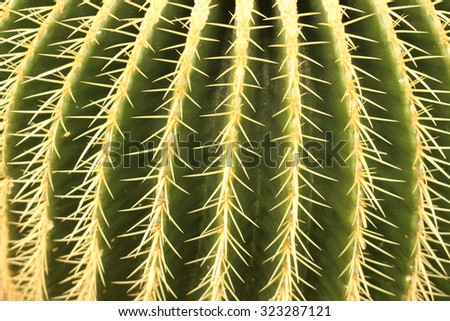 """Big """"Golden Barrel Cactus"""" thorns (or Golden Ball, Mother In Laws Cushion) in Innsbruck, Austria. Its scientific name is Echinocactus Grusonii, native to east and central Mexico. - stock photo"""