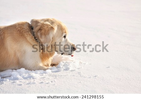 Big golden retrieve dog playing in winter on blue sky background. Winter day - stock photo