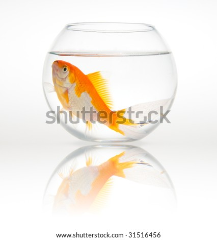 Big goldfish in a small bowl - White background - stock photo