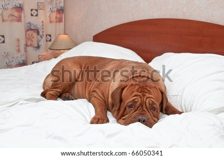 Big Goodnight Dog on Bed - stock photo