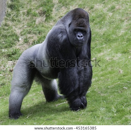 big gorilla ape showing his power outside on green grass
