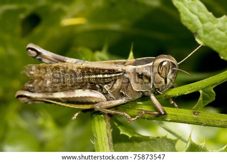 big grasshopper with yellow eyes