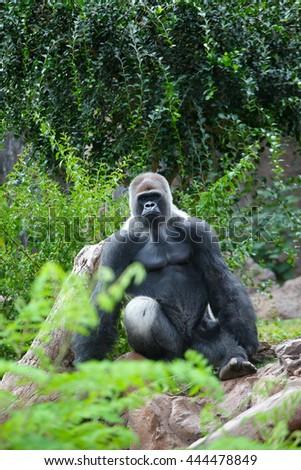 big gray gorilla in wildlife - stock photo