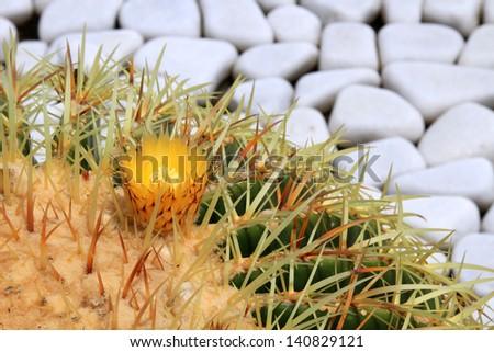 Big green blossoming cactus - stock photo