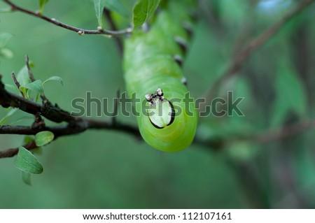 big, green caterpillar - stock photo