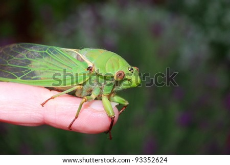 Big green cicada sitting on a person's finger