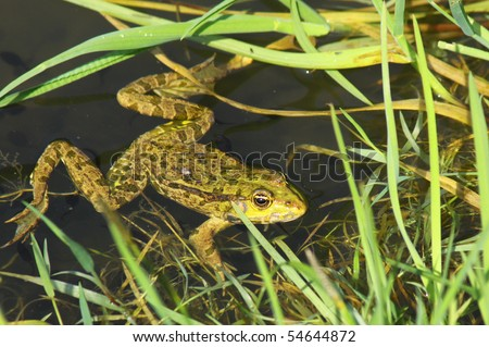 Big green frog (American Bullfrog) crawling from the water - stock photo