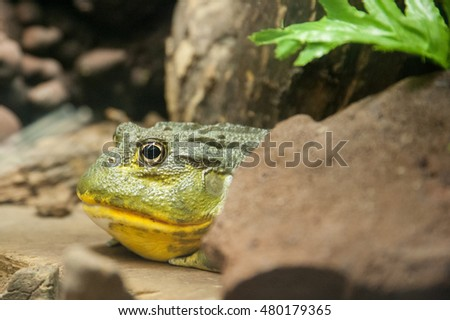 Big green frog peeking out from behind a rock
