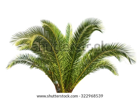 Big green Palm tree isolated on white background