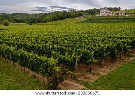 Big green vineyard in Croatia (Istria, near Groznjan) - stock photo