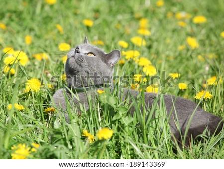 Big grey cat lying in grass in spring - stock photo