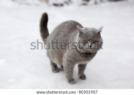 Big grey cat on snow - stock photo