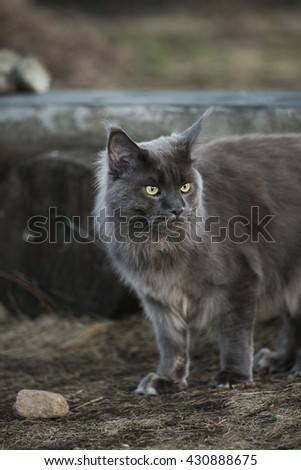 Big grey maine coon standing outdoor - stock photo