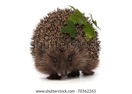big grey prickly hedgehog looks at me - stock photo