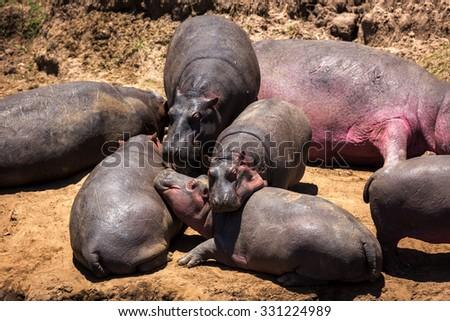 Big group of hippopotamus in east africa - stock photo
