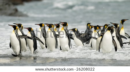 Big group of king penguins coming out of the water - stock photo