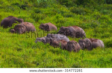 Big group of wild elephant walking in blady grass filed in real nature at Khao Yai  national park,Thailand - stock photo