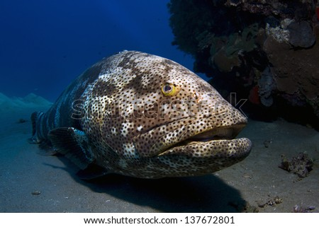 Big grouper resting at the sea floor / Malabar Grouper resting at the sea floor under the surface of the Red Sea, Egypt.   - stock photo