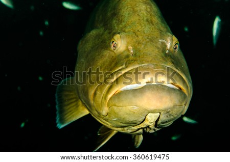 Big Gulf grouper (Mycteroperca jordani), resting in a shipwreck, reefs of Sea of Cortez, Pacific ocean. Cabo Pulmo National Park, Baja California Sur, Mexico. The world's aquarium. - stock photo