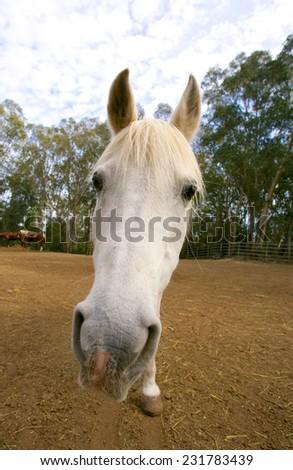Big head of white horse - stock photo