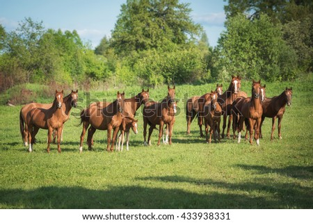 Big herd of don breed horses with foals on the pasture in summer - stock photo
