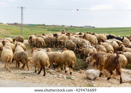 Big herd of sheep crossing the road for a shepherd - stock photo