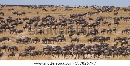 Big herd of wildebeest in the savannah. Great Migration. Kenya. Tanzania. Masai Mara National Park. An excellent illustration. - stock photo