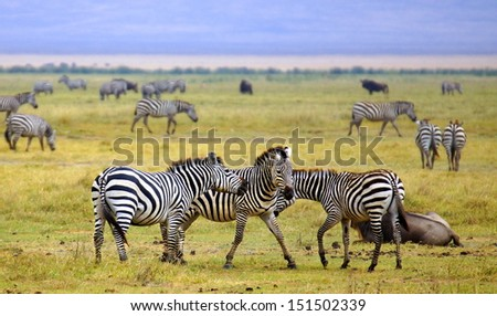 big herd of zebra's walking a playing together on grassland in Africa  - stock photo
