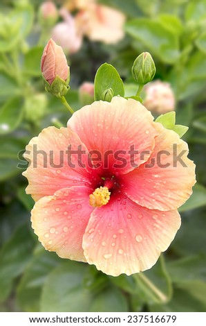 Big hibiscus flower on tree in morning time with water dropped. - stock photo