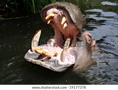 Big Hippo looking for a meal - stock photo