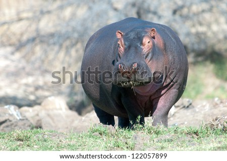 Big Hippo out of the water. Ruaha National Park, Tanzania. - stock photo