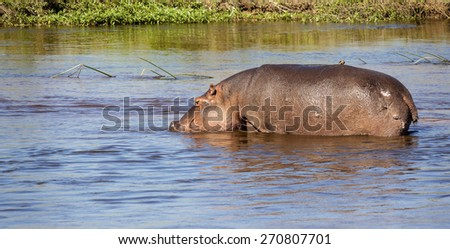 Big Hippo Resting In The Water - stock photo