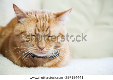 Big home ginger cat in a collar sleeping, close-up