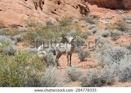 big horn sheep against red rock formation - stock photo