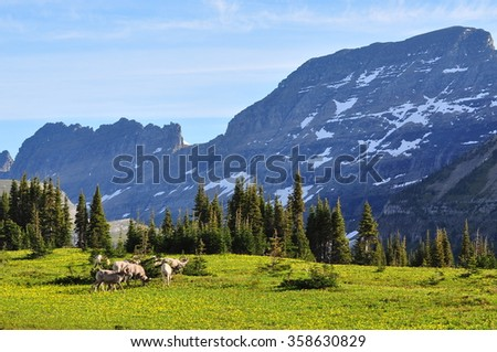 Big Horn Sheep at Glacier National Park, Montana, U.S.A. - stock photo