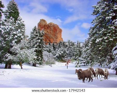 Big Horn Sheep at Glen Eyrie near the Garden of the Gods, Colorado Springs, Colorado - stock photo