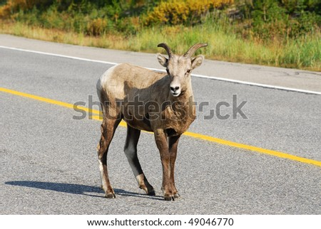 Big horn sheep crossing the highway, kananaskis country, alberta, canada