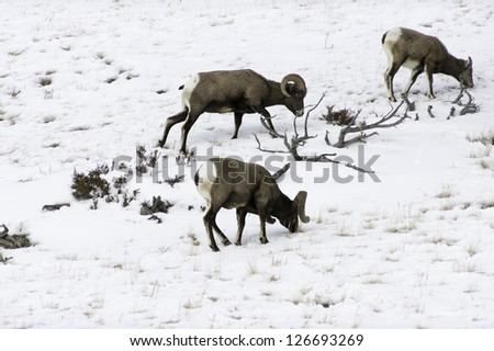 Big Horn Sheep eating grass - stock photo